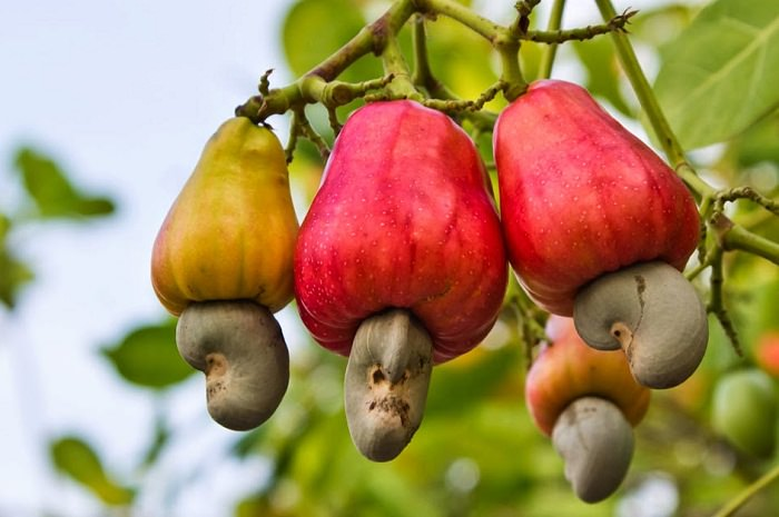 Cashew Nuts Tree