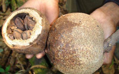 How do Brazil nuts grow?